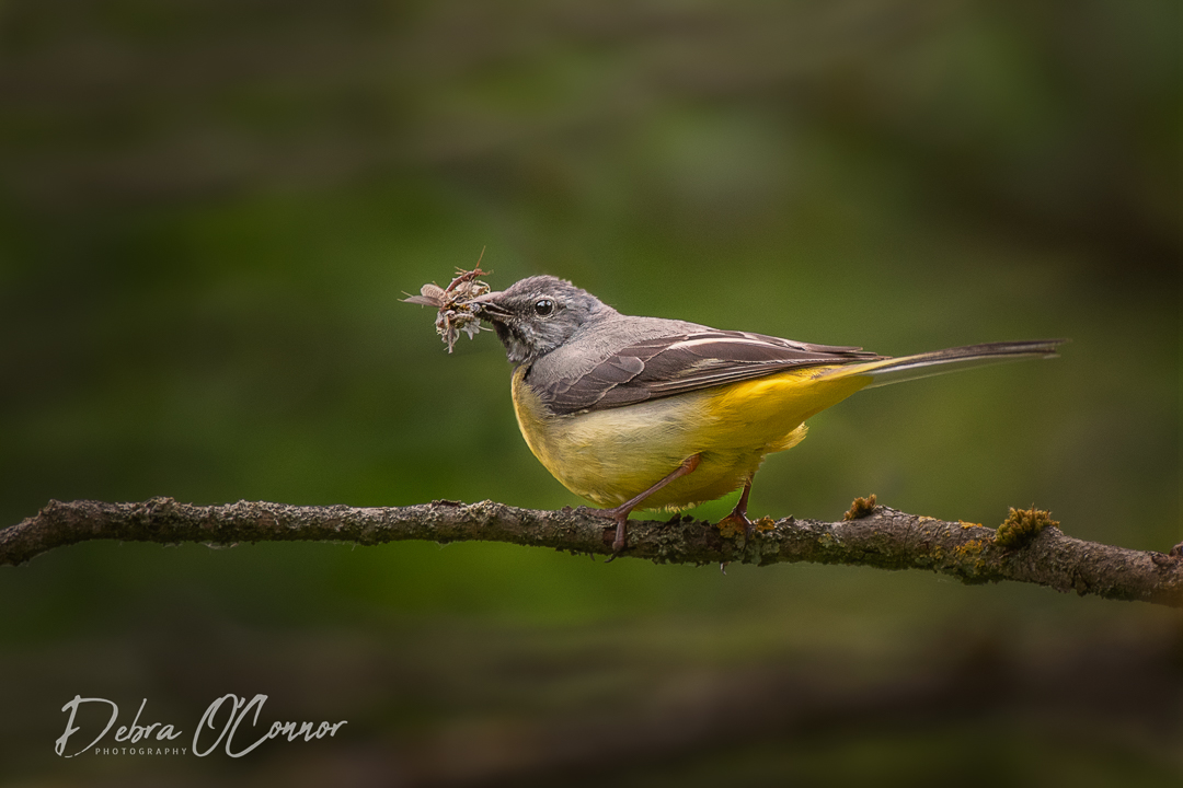 Award Winning Lancashire Wildlife Photographer - grey wagtail