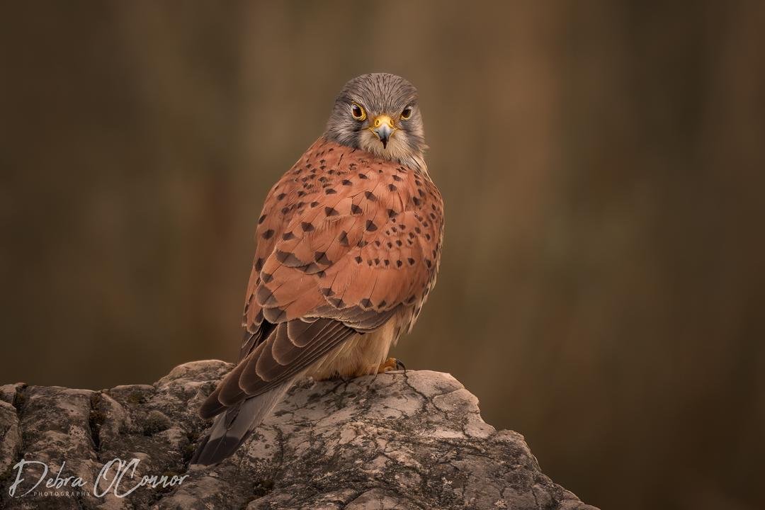 Award Winning Lancashire Wildlife Photographer - kestrel