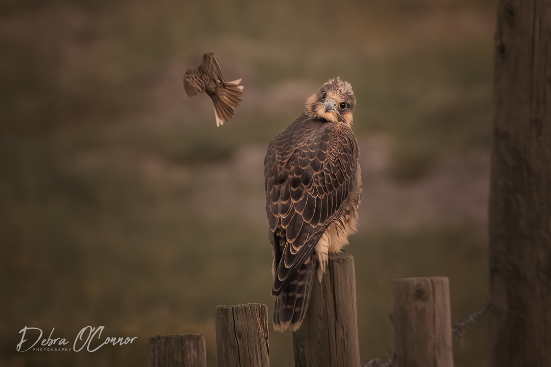 Award Winning Lancashire Wildlife Photographer - Peregrine