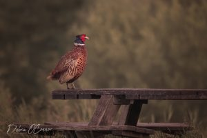 Award Winning Lancashire Wildlife Photographer - Pheasant