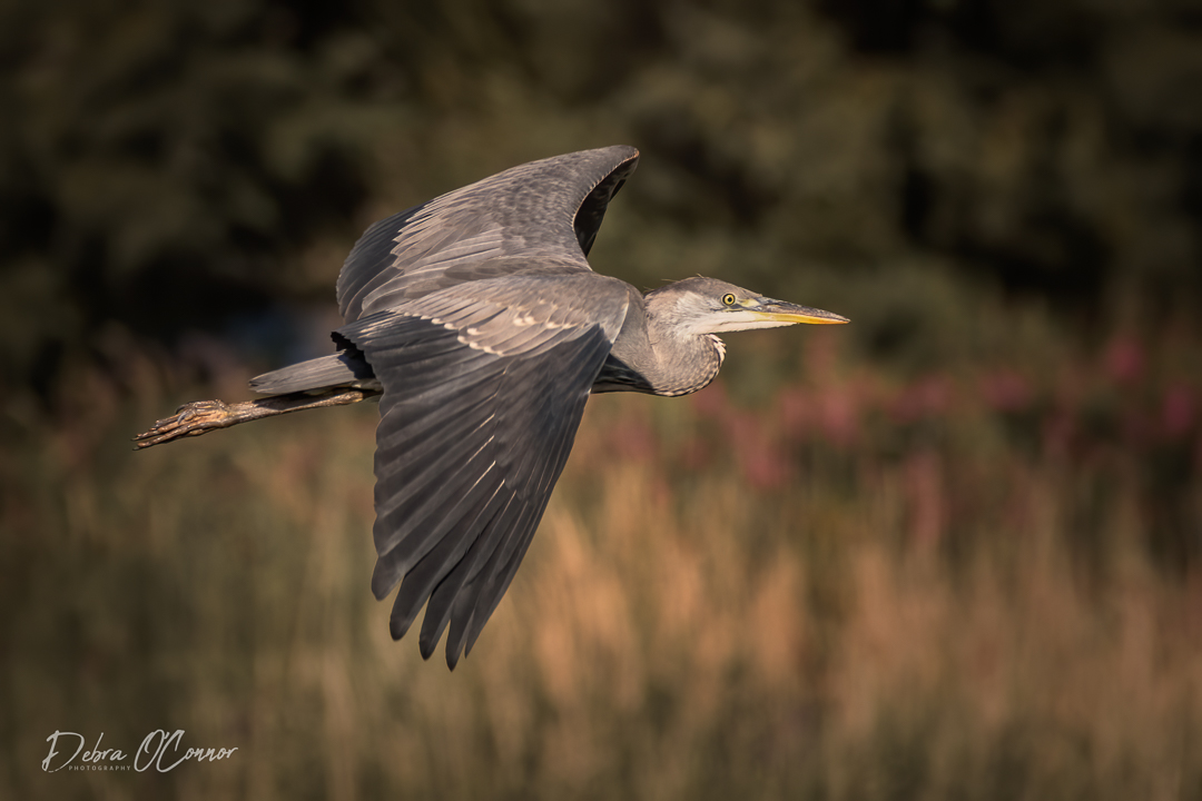 Award Winning Lancashire Wildlife Photographer - heron