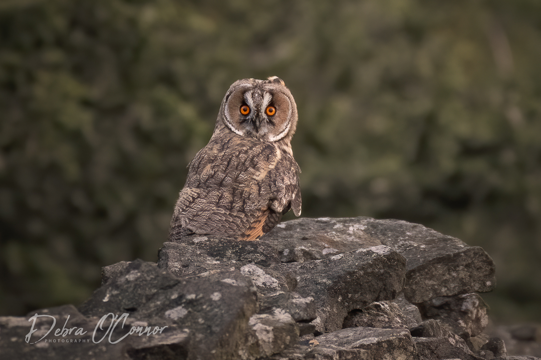 Award Winning Lancashire Wildlife Photographer - Long Eared Owl