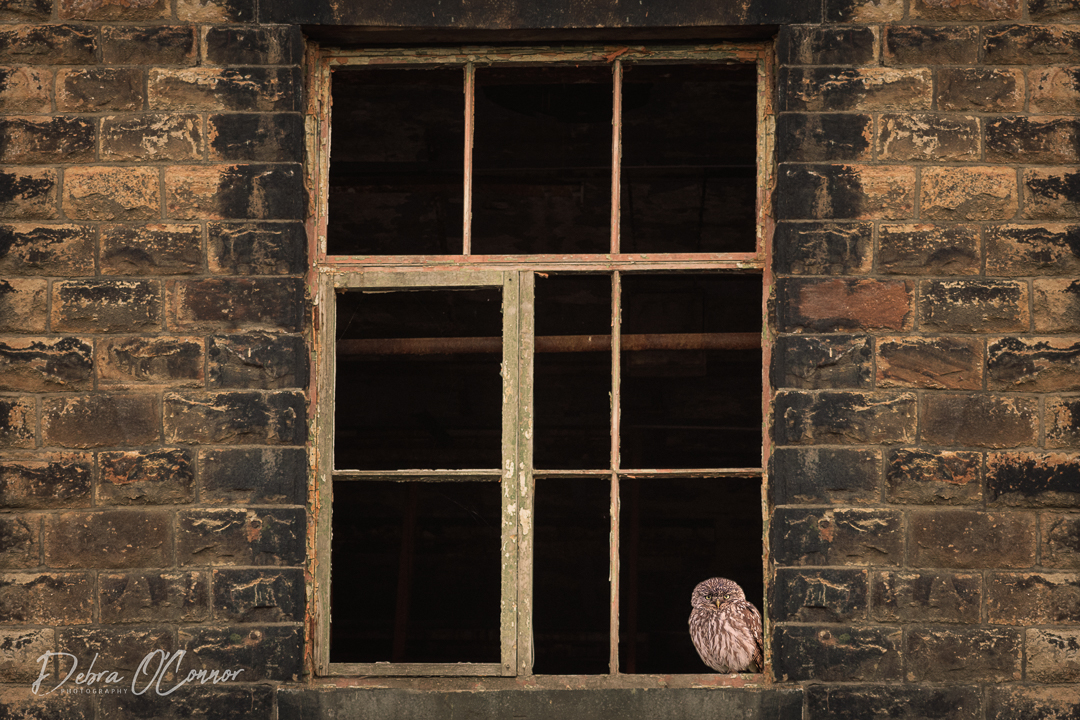 Award Winning Lancashire Wildlife Photographer - little owl