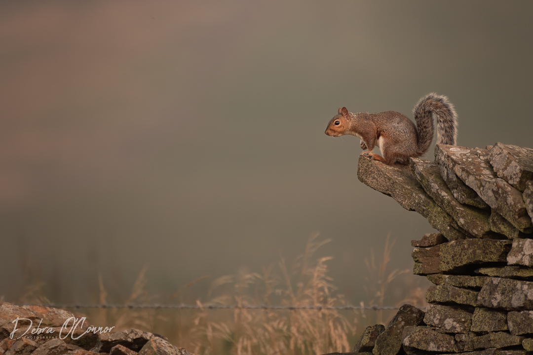 Award Winning Lancashire Wildlife Photographer - Squirrel