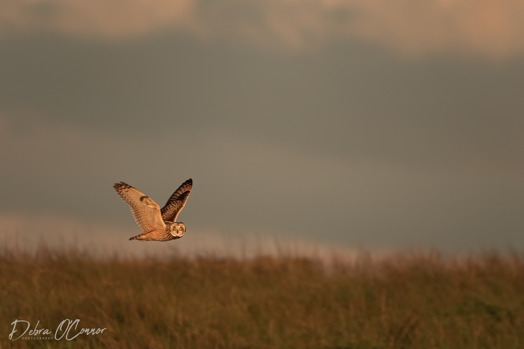 Award Wining Lancashire Wildlife Photographer - short eared owl