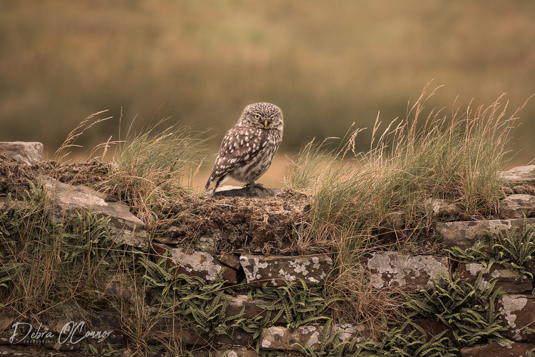 Award Wining Lancashire Wildlife Photographer - little owl