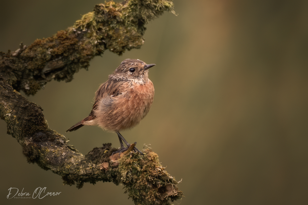 Award Wining Lancashire Wildlife Photographer - stone chat
