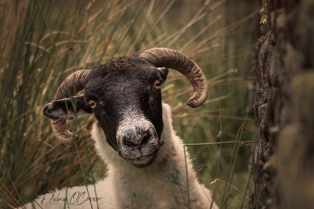 Award Winning Lancashire Wildlife Photographer - Sheep