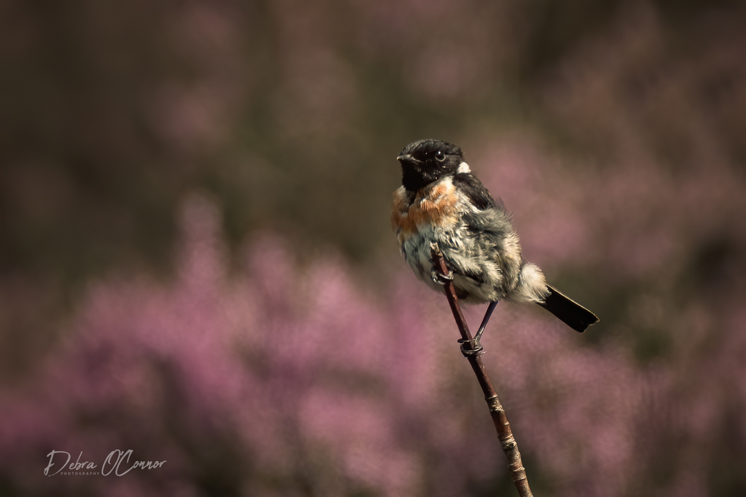 Award Wining Lancashire Wildlife Photographer - stonechat