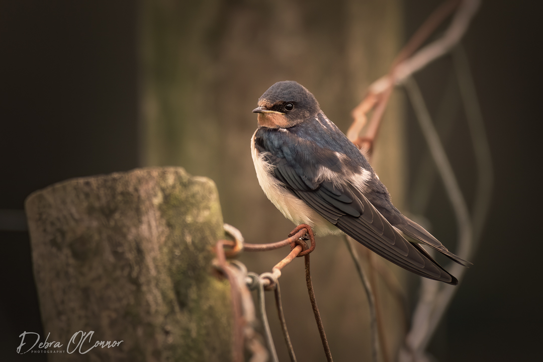 Award Wining Lancashire Wildlife Photographer - swallow