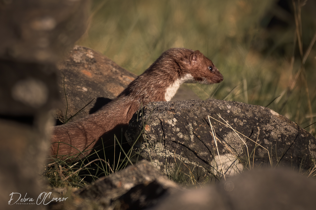 Award Wining Lancashire Wildlife Photographer - stoat