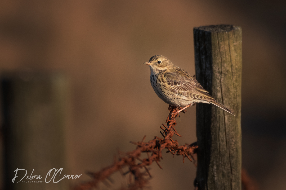 Award Winning Lancashire Wildlife Photographer - Meadow Pipit