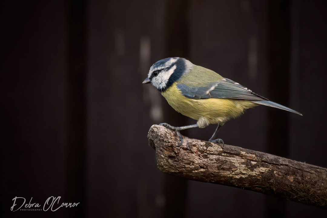 Award Winning Lancashire Wildlife Photographer - bluetit