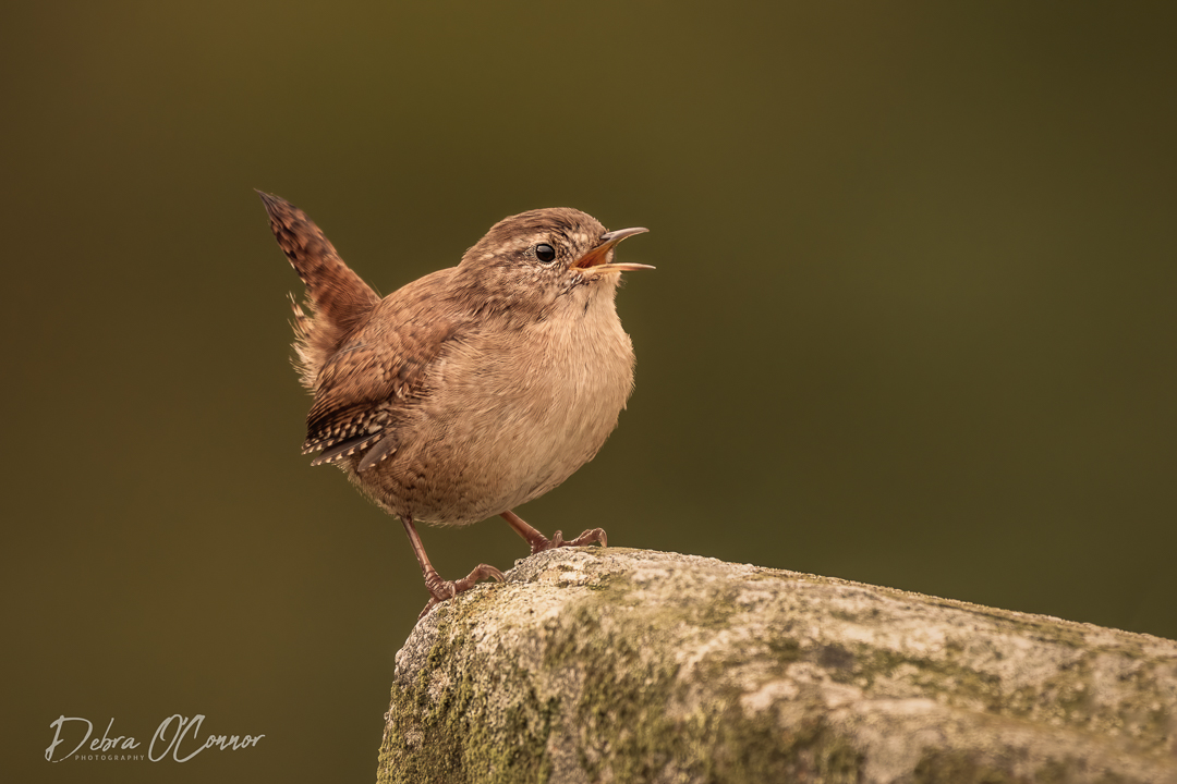 Award Winning Lancashire Wildlife Photographer - wren