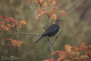 Award Winning Lancashire Wildlife Photographer - blackbird