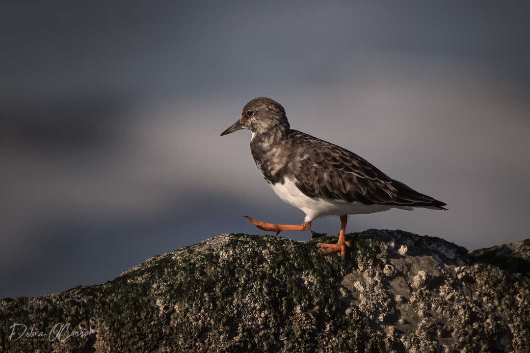 Award Winning Lancashire Wildlife Photographer - turnstone