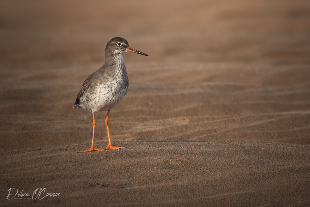 Award Winning Lancashire Wildlife Photographer - redshank