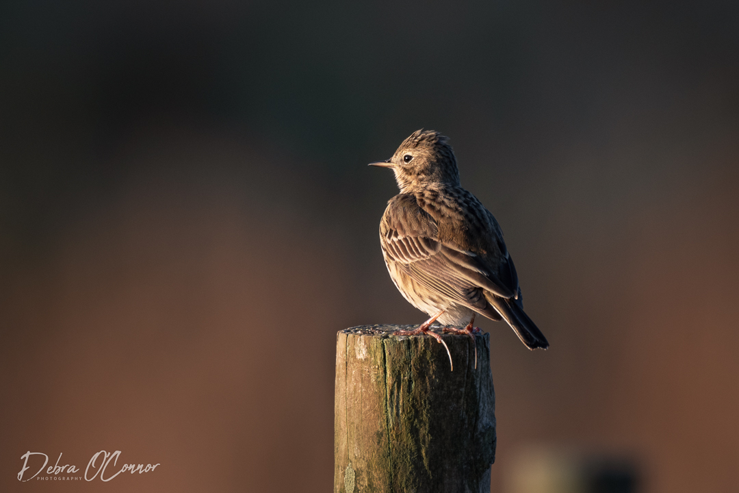 Award Winning Lancashire Wildlife Photographer - Sky Lark