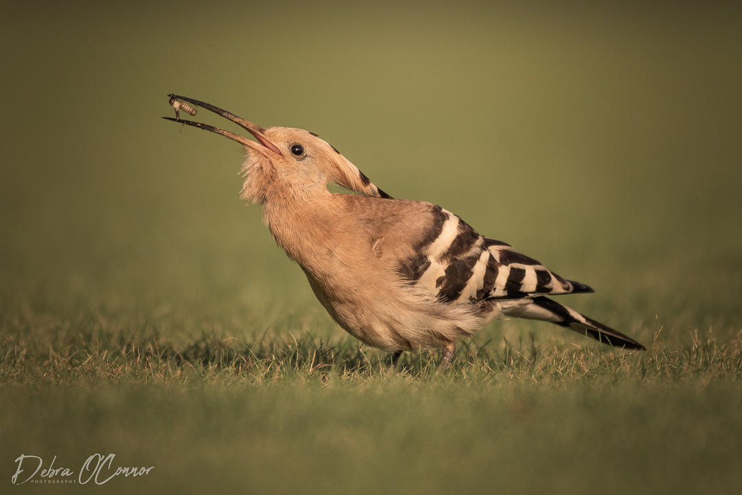 Award Winning Lancashire Wildlife Photographer - hoopoe