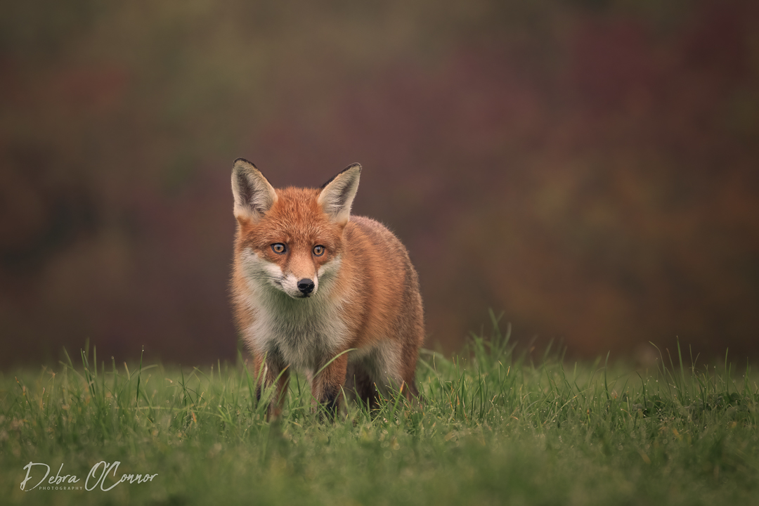Award winning wildlife photographer - Fox