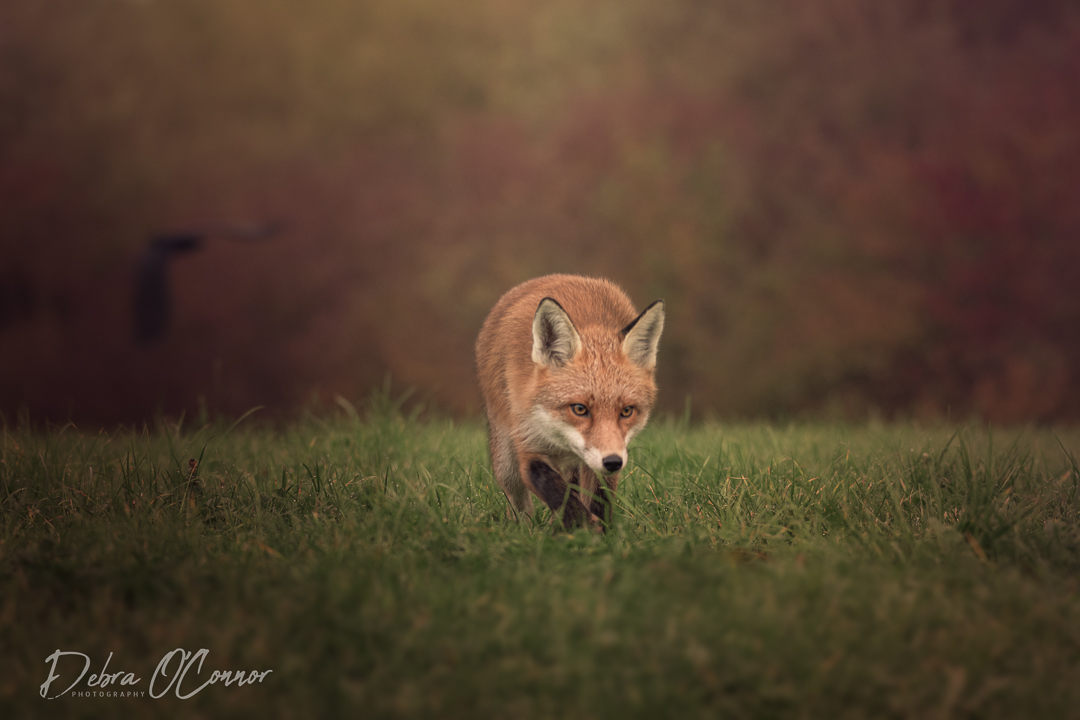Award Winning Lancashire Wildlife Photographer - Fox