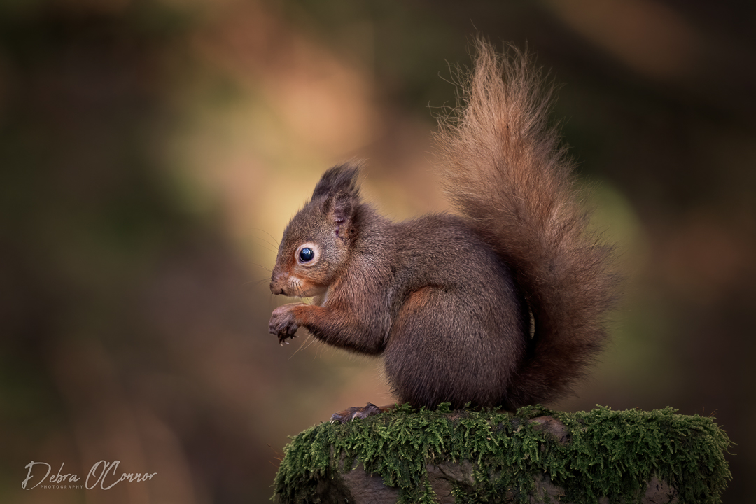 Award Winning Lancashire Wildlife Photographer - red squirrel