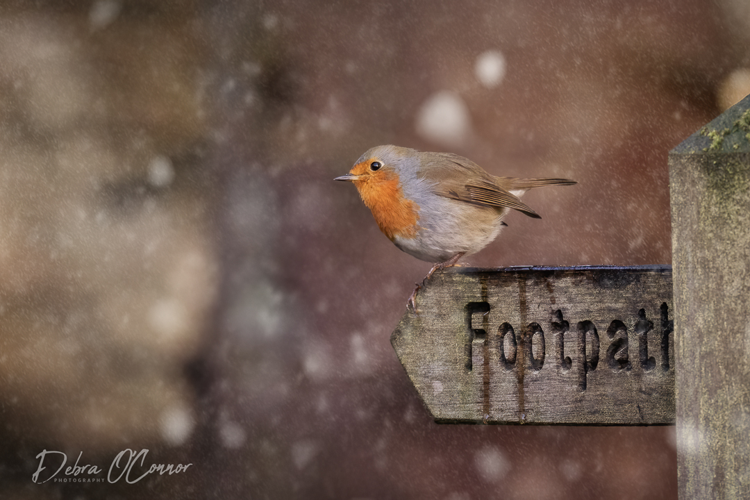 Award Winning Lancashire Wildlife Photographer - robin