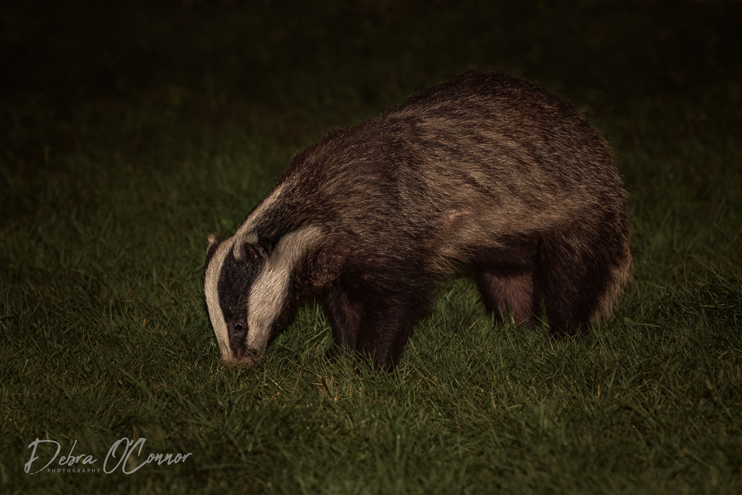 Award Winning Lancashire Wildlife Photographer - Badger
