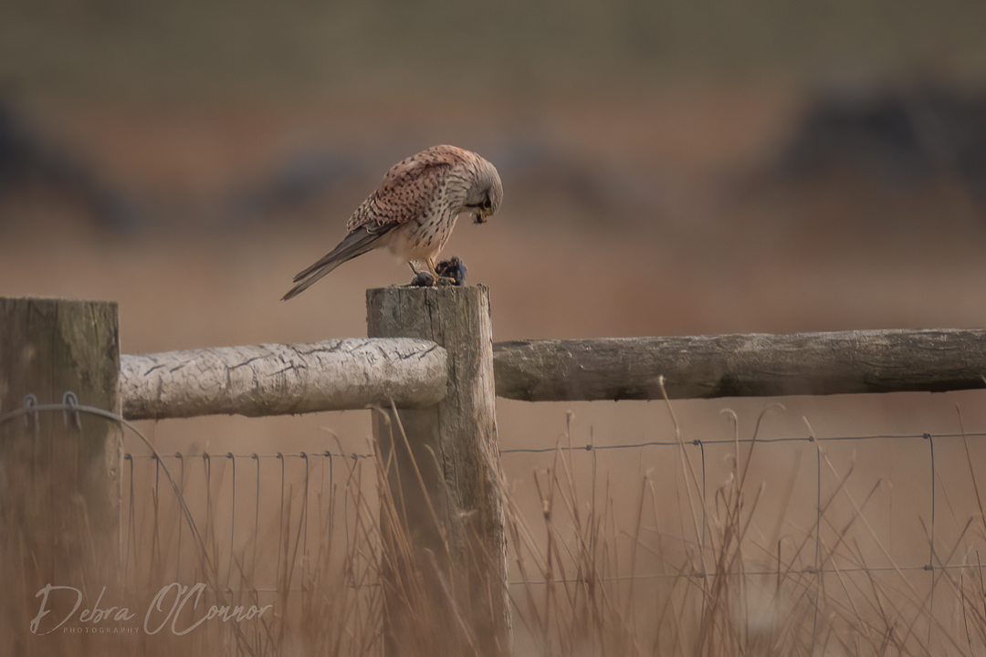 Award Winning Lancashire Wildlife Photographer - kestrel with prey