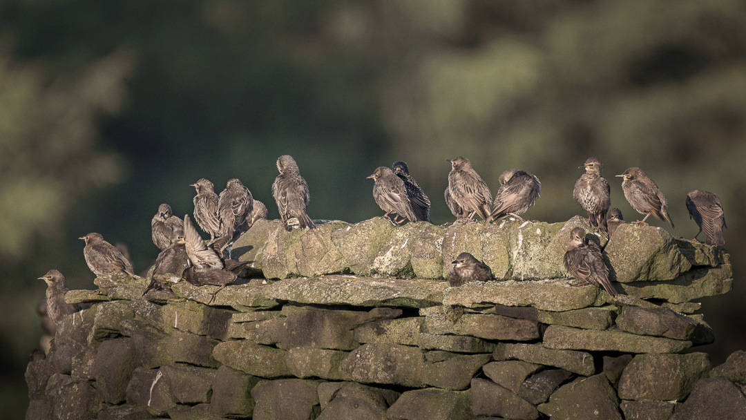 Award Winning Lancashire Wildlife Photographer - starlings