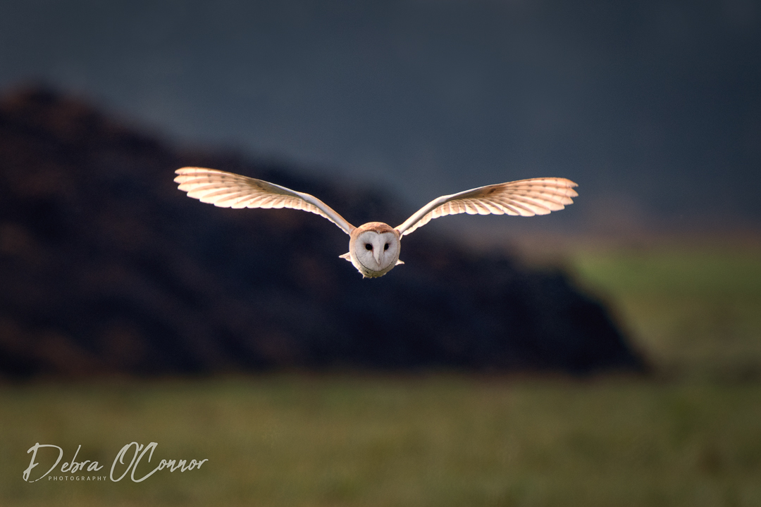 Award Winning Lancashire Wildlife Photographer  - Barn Owl